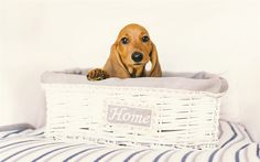 Download wallpapers dachshund, small dog, cute animals, dachshund puppy, dogs