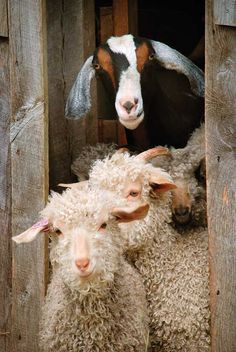 Sheeps and Goat - Provence, France