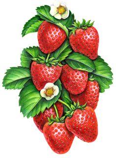 Strawberry Art, Strawberry Kitchen, Strawberry Fields, Fruit Illustration, Food Illustrations, Botanical Illustration, Fruit And Veg, Fruits And Veggies, Vegetables