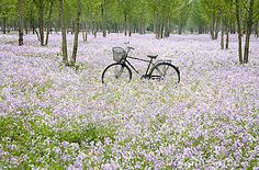 ♕ Bicycle in the flower field on a spring day.