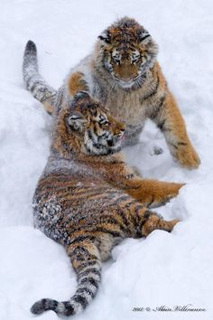 Twitter, Great picture of two snowy young Tigers playing! Love this! pic.twitter.com/BPcOCjW6cO