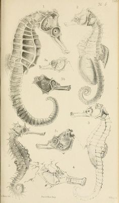 Catalogue of lophobranchiate fish in the collec...