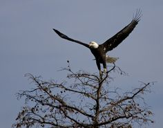 Eagles at Reelfoot Lake State Park -  Tiptonville, TN