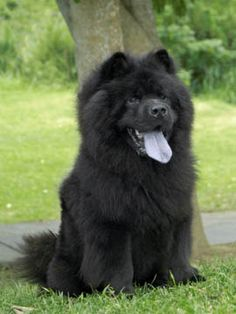 Chow chow. I want another one!!! This one looks so much like Lady and Samson, but not as dark :(