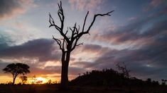 Static dramatic golden sunset timelapse with abstract dead tree silhouetted against moody cloudy sky with trees, South Africa bush (African sunset) African Sunset, Tree Silhouette, Stock Footage, Sunsets, South Africa, Royalty, Trees, Sky, Landscape