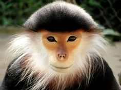 "RED-SHANKED DOUC (Pygathrix nemaeus) ©Jeremy Phan The Red-shanked Douc is a species of Old World monkey, among the most colourful of all primates. This attractive monkey is sometimes called the ""costumed ape"" for its extravagant appearance. From its..."