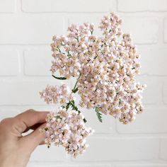 Pretty petals __ We can't resist pastel petals and this beautiful sprig of achillea is too pretty not to share. This would be so gorgeous in a bouquet!