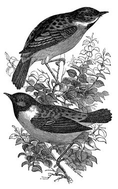 Click on images to enlarge Here are 2 lovely black and white engravings from an old Natural History Book! The two birds are the top are Stonechats, they look so sweet sitting on that branch! The Nest belongs to a Song Thrush and has 5 little Eggs inside.