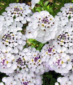 BALDUR-Garten Winterharter Bodendecker Iberis Schleifenblume 'Masterpiece®', 3 Pflanzen BALDUR-Garten GmbH http://www.amazon.de/dp/B00EIPABBG/ref=cm_sw_r_pi_dp_r45ovb047S576