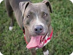 Pictures of CHLOE a Pit Bull Terrier Mix for adoption in Austin TX who needs a loving home.