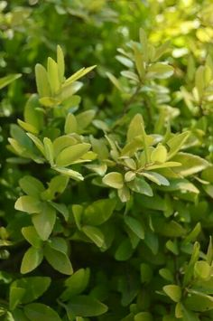 Dwarf Yaupon Holly 3'-4' Tall 3'-5' Wide Evergreen No Blooms Plant in Any Light Condition in All Soil Types that is either Moist or Dry Slow to Medium Growth Rate www.greenprintLED.com