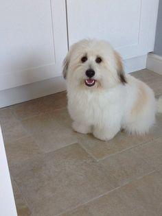 Henry's first puppy cut. Ten months old ❤️