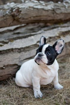 Frenchie cute