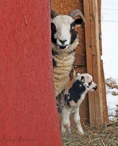 Our first lambs of the season belong to Harriet! Good job Harriet the ewe! Jacob Sheep, Vegan Animals, Lambs, Livestock, Goats, Pure Products, Blog, Sheep, Goat