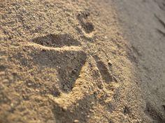 bird, footprint, photo Bird Footprint