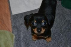 Tiny is an adoptable Chihuahua Dog in #LakeWorth, #FLORIDA. Meet Tiny!  The sweetest baby!  Tiny came into rescue with his brother Mr. Smalls and sister Teeny.  These babies were found as strays in Broward ...