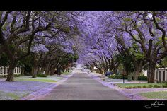 Jacaranda City (Pretoria) South Africa - All the trees in bloom during October!