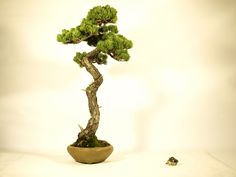 """""""Bunjin"""" -- words to express the form of the Bonsai.  """"Bunjin"""" is form expressing the tree which grew straight."""