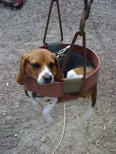 Taking a beagle off the ground is like taking a fish out of water.
