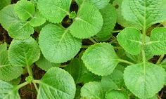 panikoorka - Google Search Trees To Plant, Plant Leaves, Cancer Treatment, Back To Nature, Ayurveda, Natural Remedies, Greenery, Seeds, Homemade