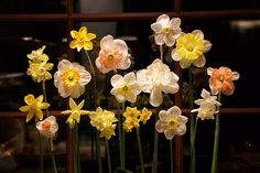 Matt Matteus's daffodil-show style arrangement of garden daffodils. The Massachusetts Daffodil Society was having its show at the Tower Hill Botanic Garden, close by to the show of the Primrose Society, of which Matt is a member.