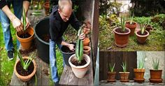 HERE IS HOW TO GROW ALOE VERA AT HOME (AND HEALTH BENEFITS) - Cactus and Succulents
