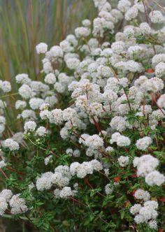 "Eriogonum parvifolium ""Sea Cliff Buckwheat""--2' high, 3' wide, sun, avg/low water --flowers darken to brown as they age"