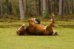 New Forest Pony |