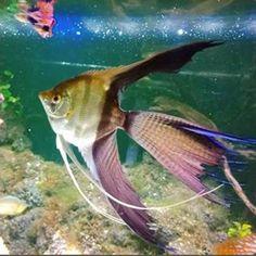 #aquariums #aquariumfish #aquariumhobby #aquarium #freshwaterhobby #freshwaterfishtank #angelfishtank #angelcoholic #angelfish Fishing Life, Going Fishing, Best Fishing, Fishing Knots, Fishing Tackle, Tropical Fish Aquarium, Aquarium Fish Tank, Angel Fish Tank, Fish Feed