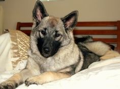 Close up front side view - A perk-eared, tan with black Norwegian Elkhound dog is laying on a human's bed looking forward. Its head is slightly tilted to the right.