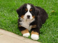you're crazy if you don't want a puppy like this...so adorable...bernese mountain dog