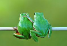 """earth-song: """" Friendship"""" by Mustafa Öztürk Funny Frogs, Cute Frogs, Beautiful Creatures, Animals Beautiful, Funny Animals, Cute Animals, Amazing Frog, Frog Pictures, Frog Art"""