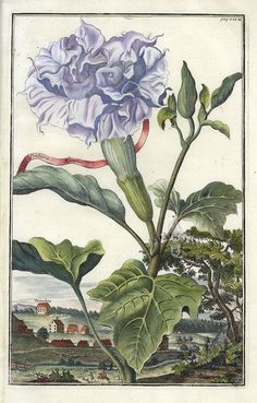 Datura botanical illustration, rare and whimsical copper engraving from Volckamer's Nuernbergische Hesperides, circa 1708-14.