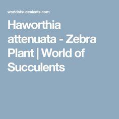 Haworthia attenuata - Zebra Plant | World of Succulents