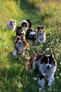 Border Collie herd