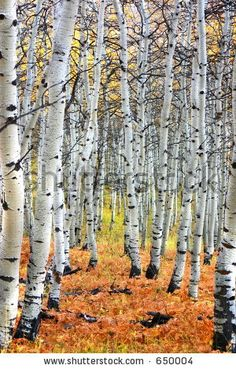Google Image Result for http://image.shutterstock.com/display_pic_with_logo/52526/52526,1129877680,1/stock-photo-autumn-aspen-tree-path-650004.jpg