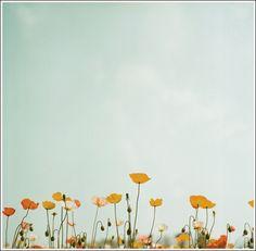 poppies #California #poppies #flowers