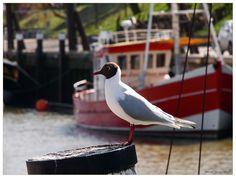 habe ich von der Lachmöwe nicht gehört Büsum, Museumshafen am 10.04.2011 North Sea, Holland, Germany, Cars, Travel, Baltic Sea, Clay, Beautiful Pictures, Travel Destinations