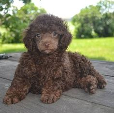 51 Best Chocolate Poodles Images On Pinterest Doggies Poodles And