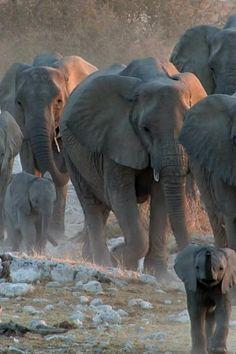 Elephant Pictures, Elephants Photos, Animal Pictures, Elephant Gif, Elephant Love, Little Elephant, African Elephant, Elephant Photography, Animal Photography