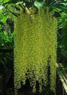 Orchid, Coelogyne rochusseni