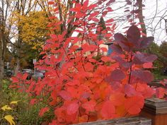 Best Seattle Fall Plant  Smoke tree: Cotinus obovatus 'Grace'