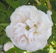 Damask Rose: Rosa 'Madame Zöetmans' (France, before 1846)
