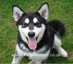 Alaskan Malamute..looked like Stara when she was a puppy :')