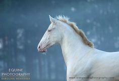 Equine Photography - Karolina Wengerek Akhal-Teke - golden horses of the desert