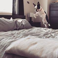 Being a frog is so 2016, I'm rabbit now! Tags: #🐇 #🐰 #bostonterrier #bostonterriers #squishyfacecrew #dogsofinstagram #puppiesofinstagram #bostonterrierlove #flatnosedogsociety #puppy #puppies #btcrush #btcult #puppygram #ibostonterrier #bostonterriersforever #dogsofcalgary #yyc #yycdogs #puppylove #calgarydogs #bostonterrier_feature #puppylove #bostonterror #bostonterrierlife #dogstagram #dogsofig #roetheboston