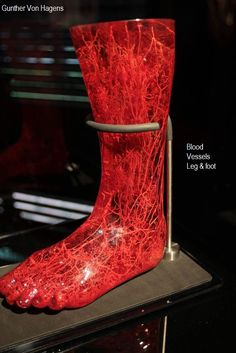 Cardiovascular system of foot Gunther Von Hagens, Barbell, Human Body, Rubber Rain Boots, People, Legs, Workout, Amazing, Beauty