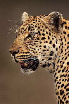 Leopard by Xenedis on 500px