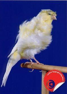Padovan Frill Canary