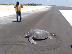 A turtle which came ashore an island in the Maldives historically popular as a nesting site was seen laying her eggs in the middle of a new airport runway which has been built across what used to be a beach. Maldives Beach, Farne Islands, Especie Animal, Marine Conservation, Pista, Red Sea, Hotels And Resorts, Sea Turtles, Landing